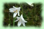 photo Lys St Bruno
